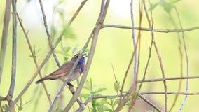 Podróżniczek wiosny śpiewacki pieśniowy obsiadanie w krzaku zbiory