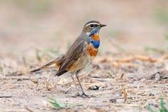 Podróżniczka Luscinia svecica Piękni Męscy ptaki Tajlandia zdjęcie royalty free