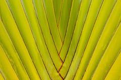 PODRÓŻNIKA drzewko palmowe Zdjęcie Royalty Free
