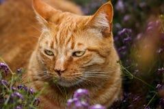 Podrażniony pomarańczowy tabby kot w łacie purpurowi kwiaty zdjęcia stock