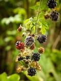 Podridão do fruto da botrítis ou molde cinzento em amoras-pretas fotos de stock