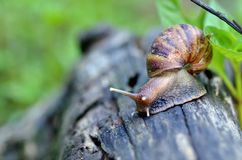 Podrożec lub ślimaczek czołgać się wolno w ogródzie Fotografia Stock