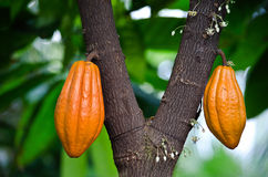 Pods on cocoa tree Royalty Free Stock Images