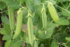 Pods of green peas on a branch Royalty Free Stock Photography