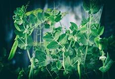 Pods of green peas on the bush in garden royalty free stock photos