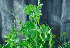 Pods of green peas on the bush in garden stock photo