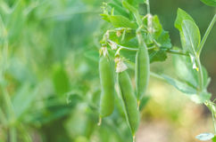 Pods of green peas grow on the garden Stock Images