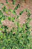 Pods of green peas growing in the garden. Long pods of green peas growing in the garden royalty free stock photo