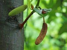 Pods of jackfruit tree Stock Image