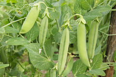 Pods Of Green Peas On A Branch. Natural Organic Vegetables Grow In The Garden Stock Images