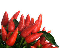 Pods of red pepper Royalty Free Stock Photos