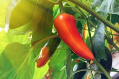 Pods of sweet pepper ripen on a bush in a greenhouse stock photo