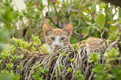 Podstępny czerwony kot Zdjęcie Royalty Free