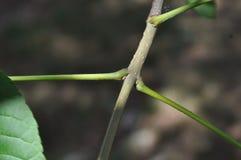 Podstawowa Drzewna identyfikacja: Opposite liścia przygotowania Fotografia Royalty Free