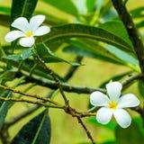 Podstawowa lekka magiczna tło para białych kwiatów Tajlandia plumeria symetryczny w górę tropikalnej rośliny zdjęcia royalty free