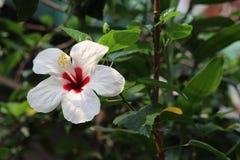 Podstawowego projekta biel z czerwonym centre poślubnika kwiatem Zdjęcia Royalty Free