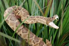 podstępny wąż Zdjęcie Stock