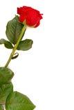 podwójne różę przestrzeni Zdjęcia Royalty Free