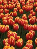 Podwójni barwioni tulipany w polu Zdjęcie Stock