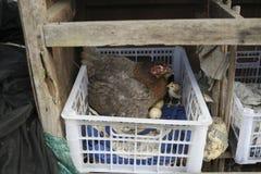 Podwórków kurczaki i Gamecocks, zdjęcia royalty free