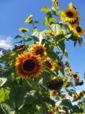Podwórko słoneczniki obrazy stock