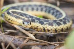 Podwiązka wąż Zdjęcia Royalty Free