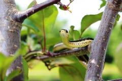 Podwiązka wąż Fotografia Stock