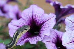 Podwiązka wąż i purpura kwiat Zdjęcie Stock