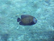 Podwodna fotografia Francuski Angelfish Obrazy Stock
