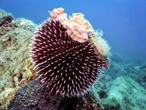 Podwodna fotografia Purpurowy Denny czesak Zdjęcie Stock