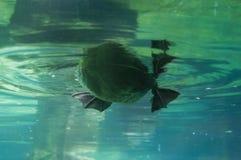Podwodna kaczka Obraz Royalty Free