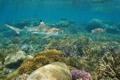 Podwodna rafa koralowa z dennym żółwiem i rekinem obraz stock