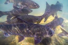 Podwodna ryba, Mahseer barbet, ryba żywa w różnorodnych siklawach w Namtok Phlio parku narodowym, Chanthaburi, Tajlandia obraz royalty free