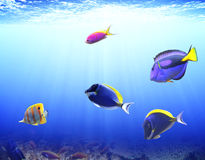 Podwodna scena z tropikalną ryba Obraz Stock