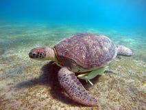 Podwodna sceneria z dennym żółwiem w błękitne wody Obraz Royalty Free
