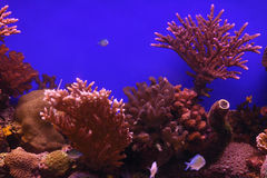 Podwodni korale i Czerwona Denna ryba Obraz Royalty Free