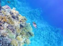 Podwodny świat Czerwony morze, pożarniczy korale, ryba, przeciw tłu dno morskie i głębia obrazy royalty free