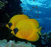 Podwodny świat w głębokiej wodzie w rafie koralowej i roślinach kwitnie flory w błękitnej światowej morskiej przyrodzie, rybie, k obraz royalty free
