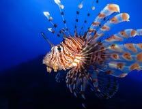 Podwodny świat w głębokiej wodzie w rafy koralowej i rośliny natury florze w błękitnej światowej morskiej przyrodzie, oceanu denn obraz stock