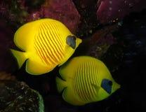 Podwodny świat w głębokiej wodzie w rafy koralowej i rośliny natury florze w błękitnej światowej morskiej przyrodzie, oceanu denn obraz royalty free
