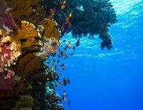 Podwodny świat w głębokiej wodzie w rafy koralowej i rośliny natury florze w błękitnej światowej morskiej przyrodzie, oceanu denn zdjęcia royalty free