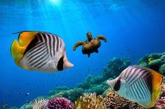podwodny żółwia morza czerwonego Obraz Royalty Free