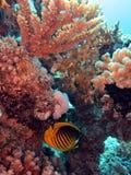 Podwodny życie: korale w tropikalnym nawadniają obraz royalty free