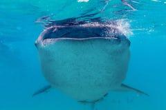 Podwodny krótkopęd gigantyczni wielorybi rekiny (Rhincodon typus) Zdjęcia Royalty Free
