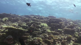 Podwodny krajobraz rafa koralowa Maldives zbiory wideo