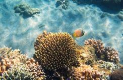 Podwodny krajobraz z rafy koralowa i motyla ryba Butterflyfish podmorska fotografia Zdjęcia Stock