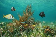 Podwodny morskiego życia ryba morze karaibskie Kuba Fotografia Stock