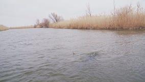 Podwodny myśliwy nurkuje pod wodą w rzece zdjęcie wideo