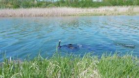 Podwodny myśliwy w małej rzece zbiory