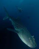 podwodny rekina wieloryb Obraz Royalty Free